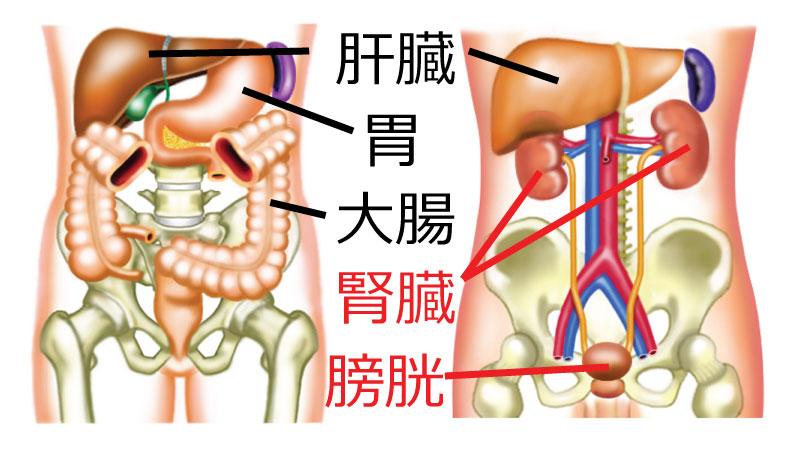 「腎臓 位置」の画像検索結果